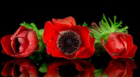 Red anemone bouquet Royalty Free Stock Photography