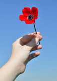 Red anemone in the child's hand Royalty Free Stock Photo