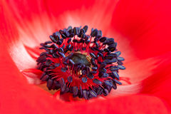 Red Anemone. Close up of red anemone flower Royalty Free Stock Images