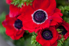 Red Anemone close up Royalty Free Stock Image