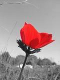 Red Anemone Color splash Stock Photo