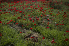 red Anemone Coronaria field in Israel up close Royalty Free Stock Images