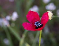 Red anemone Coronaria flower Royalty Free Stock Photo