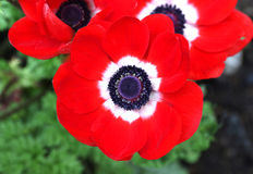 Red Anemone coronaria flower red white stock image