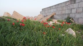 Red Anemone coronaria flowers growing on on stone ruins. Israel stock video footage