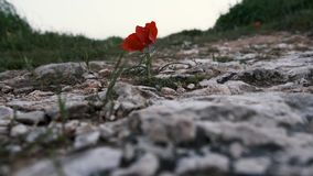 Red anemone coronaria grown on a rock. Wind playing with red anemone coronaria grown on a rock stock video footage