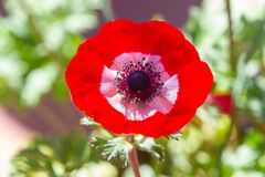 Free Red Anemone Coronaria, Known As The Poppy Anemone Stock Images - 183013624