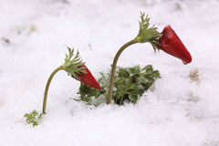 Red Anemone coronaria in snow Royalty Free Stock Photo