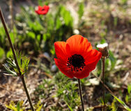 Red anemone in the desert Stock Image