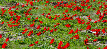 Red Anemone field Stock Photo