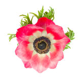 Red anemone flower close up Stock Photos