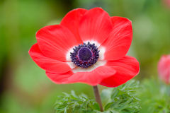 Red Anemone flower Royalty Free Stock Image
