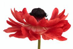Red anemone flower isolated on white background. Anemone flower isolated on white background stock photo