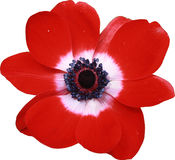 Red Anemone Flower Macro. Macro photo of a red anemone against a white background royalty free stock photos