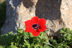 Red anemone flower. In the north of Israel Stock Photos