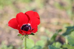 Red Anemone flower Royalty Free Stock Images