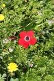 Red Anemone Flower. In a field at spring time royalty free stock photo
