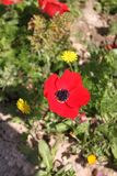 Red Anemone Flower. At spring time stock photo