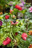 Red anemone flowers blooming in a group in the garden. During spring royalty free stock photos