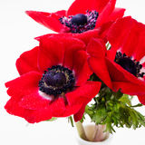 Red Anemone flowers bouquet in a glass vase White background Stock Photography
