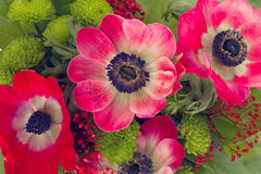 Red  anemone flowers close up Royalty Free Stock Images