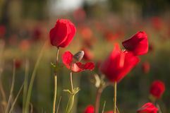 Red anemone flowers in the field stock photos