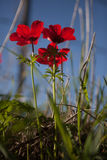 Red Anemone Royalty Free Stock Photography