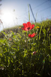 Red Anemone Stock Images