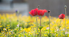 Red Anemone Royalty Free Stock Image