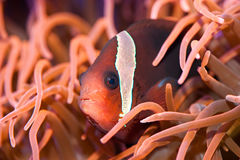 A red anemonefish Stock Images