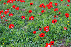 Red anemones Stock Photo