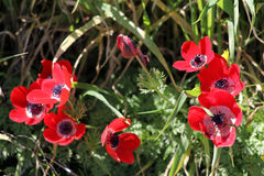 Red Anemones Stock Images