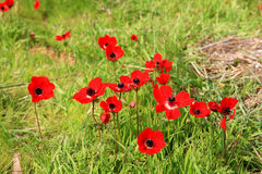 Free Red Anemones, Israel Stock Images - 86039794