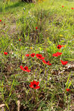 Red anemones, Israel Royalty Free Stock Image