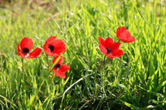 Red anemones, Israel Royalty Free Stock Photography