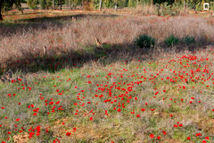Red anemones, Israel. Field of red anemones, Shokeda forest, Israel Royalty Free Stock Images