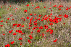 Red anemones, Israel. Field of red anemones, Shokeda forest, Israel Royalty Free Stock Image