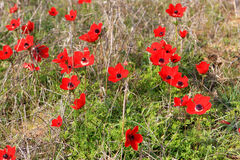 Red anemones, Israel. Field of red anemones, Shokeda forest, Israel Stock Photography