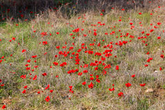 Red anemones, Israel. Field of red anemones, Shokeda forest, Israel Stock Images