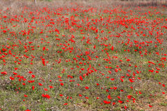 Red anemones, Israel. Field of red anemones, Shokeda forest, Israel Stock Photo