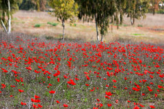 Red anemones, Israel. Field of red anemones, Shokeda forest, Israel Royalty Free Stock Photography