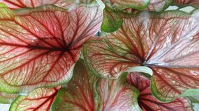 Red Angel wing leaves background Stock Image