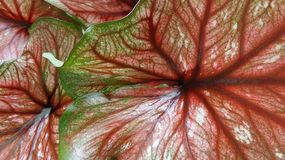 Red Angel wing leaves background Royalty Free Stock Images