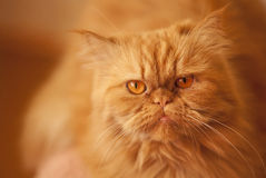Red angry beautiful Persian cat on an orange background. Royalty Free Stock Photography