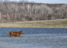 Red angus calf Stock Images