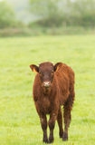 Red Angus Calf Royalty Free Stock Photo