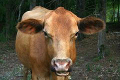 Red Angus Cow Royalty Free Stock Photography