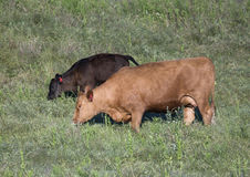 Red Angus cow and calf grazing in Oklahoma. Pictured is a red angus cow and her calf grazing in Oklahoma.  The angus is used in beef production Royalty Free Stock Photos