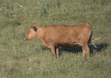 Red Angus cow in a field in Oklahoma Stock Photography