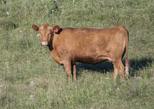 Red Angus cow in a field in Oklahoma Stock Photos
